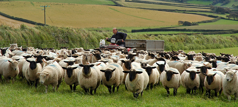 Beautiful country shot taken of a farmer with his sheep in North Devon.