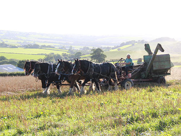 Meet the team of shire horses that work on the farm here at Higher Biddacott Farm.