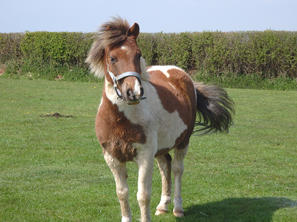 Meet the ponies at Hill Farm Cottages, North Devon.