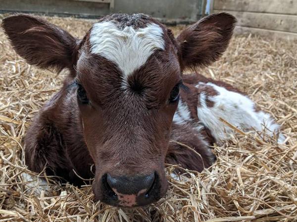 Calf born at Bampfield Farm Self Catering Holidays, North Devon.