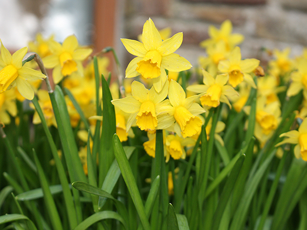 Pretty Daffodils at West Down Guest House.