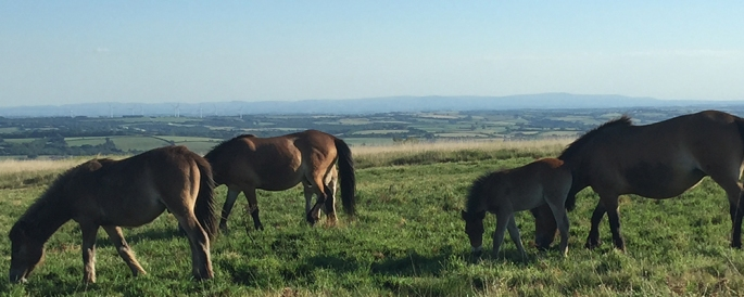 Wild Exmoor Ponies can frequently be seen while exploring Exmoor on a family walk.
