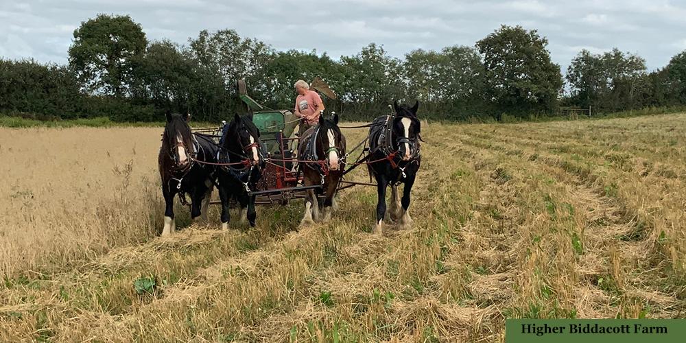 Working horses getting in the harvest at Higher Biddacott Farm, North Devon.